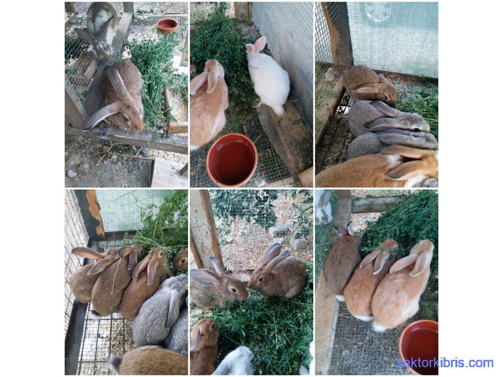 Ev tavşanı büyük cins