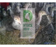 Uygun fiyata Orijinal Amerikan Bronz hindi civcivi satışımız vardır.