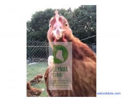 Satılık tavuklarımız mevcuttur. Bilgi için arayınız ( 0541 828 1185 )